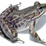 Pomagajmo pri žabji selitvi
