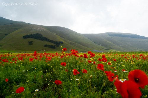 fioritura_a_castelluccio